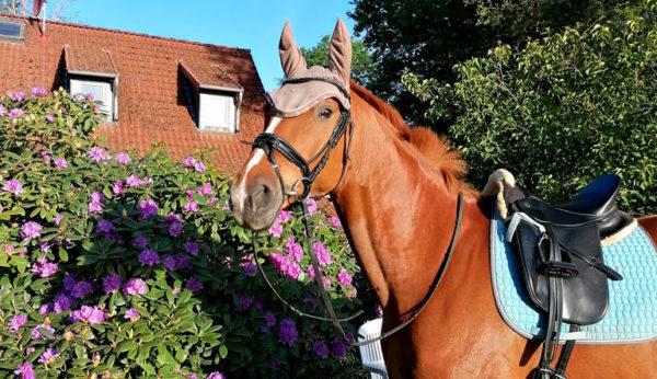 Pferd vor Rhododendren